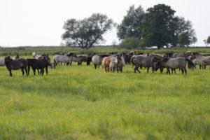 Die falbenfarbenen Konik-Pferde werden mittlerweile häufig als Landschaftspfleger eingesetzt, wie im polnischen Białowieża-Nationalpark oder im Geltinger Birk an der schleswig-holsteinischen Ostsee.  Bildquelle: Staffan Widstrand, Wild Wonders of Europe